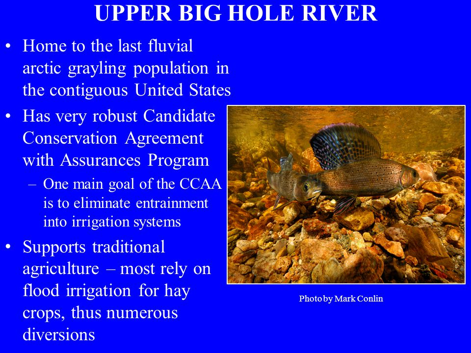 UPPER BIG HOLE RIVER Home to the last fluvial arctic grayling population in the contiguous United States Has very robust Candidate Conservation Agreement with Assurances Program –One main goal of the CCAA is to eliminate entrainment into irrigation systems Supports traditional agriculture – most rely on flood irrigation for hay crops, thus numerous diversions Photo by Mark Conlin