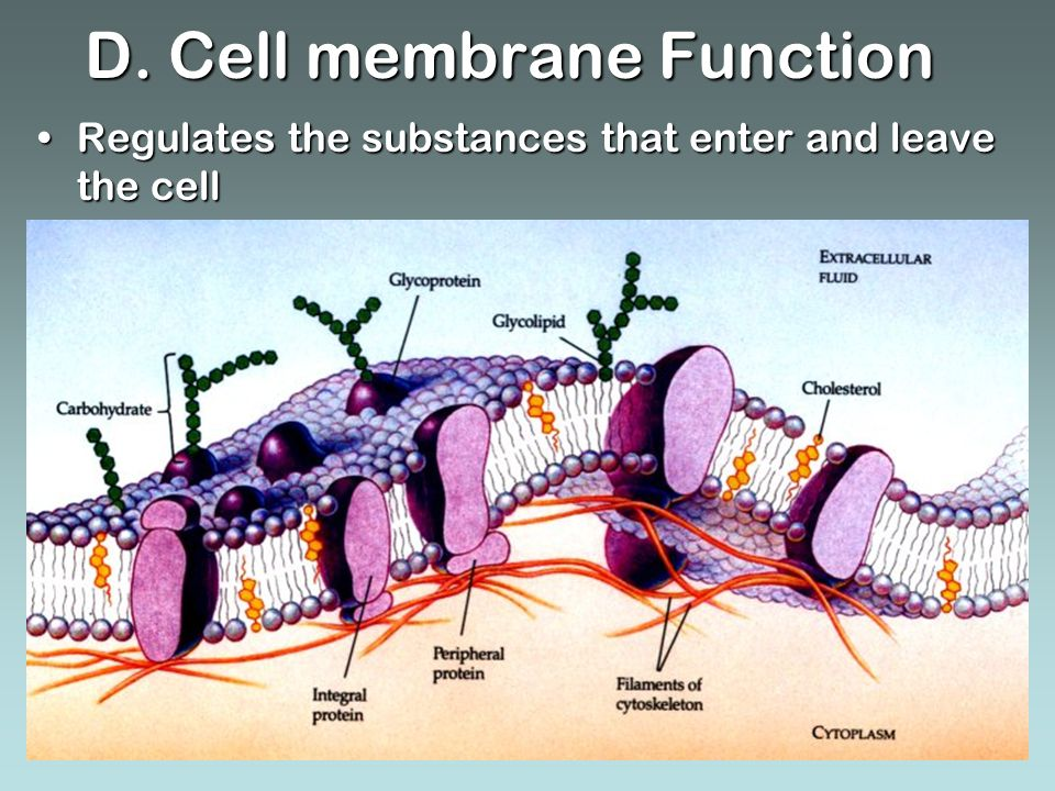 D. Cell membrane Function Regulates the substances that enter and leave the cellRegulates the substances that enter and leave the cell