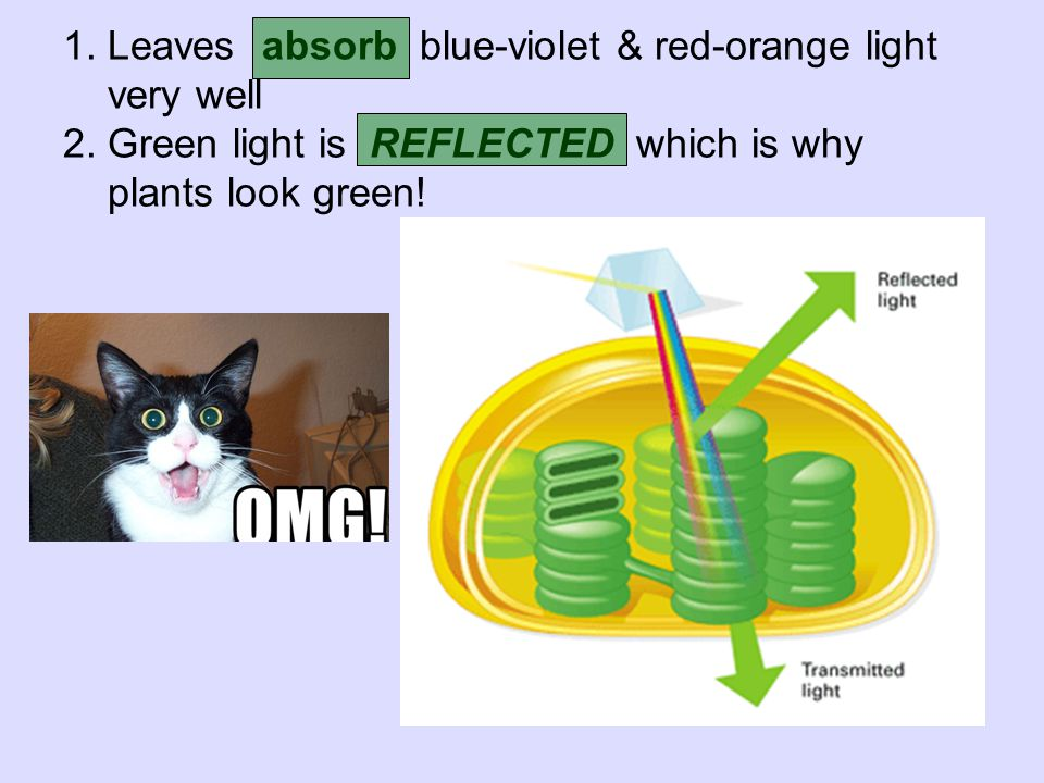 1. Leaves absorb blue-violet & red-orange light very well 2. Green light is REFLECTED which is why plants look green!