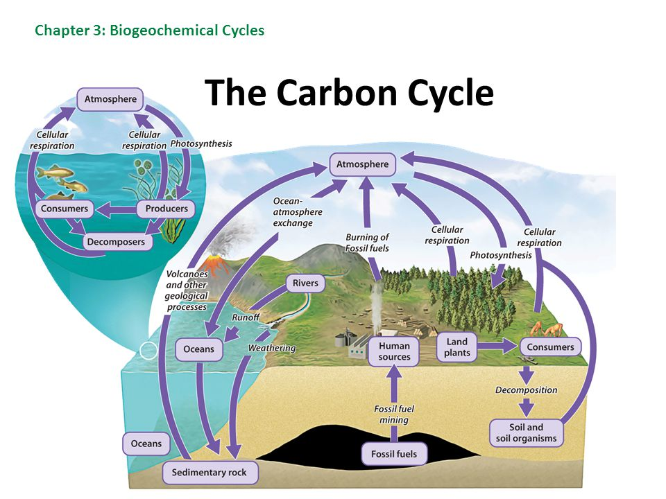 The Carbon Cycle Chapter 3: Biogeochemical Cycles