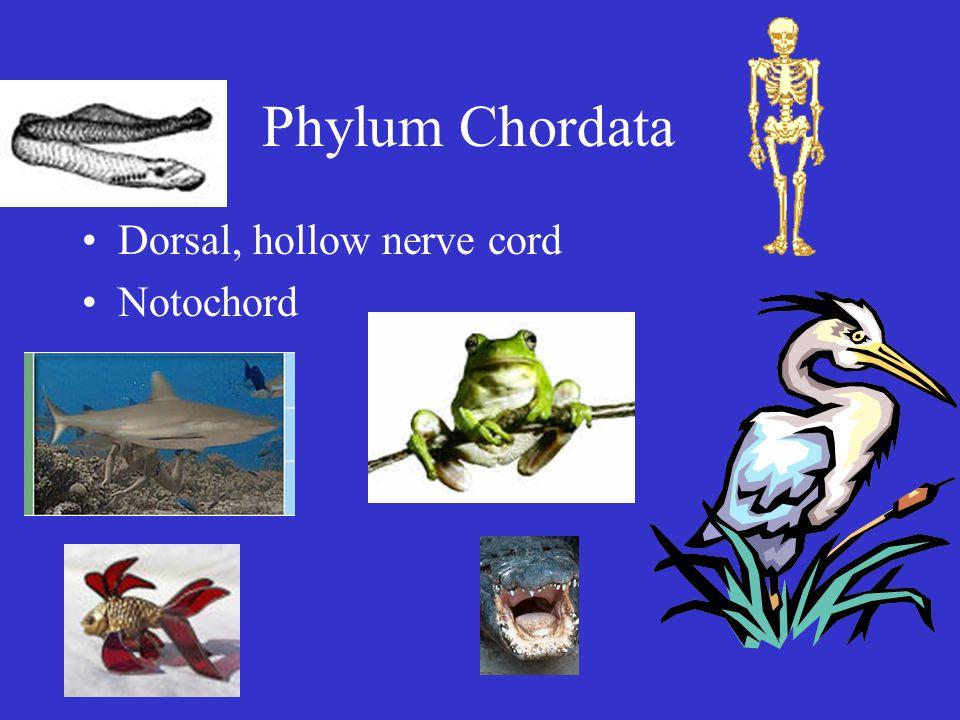 Phylum Chordata Dorsal, hollow nerve cord Notochord