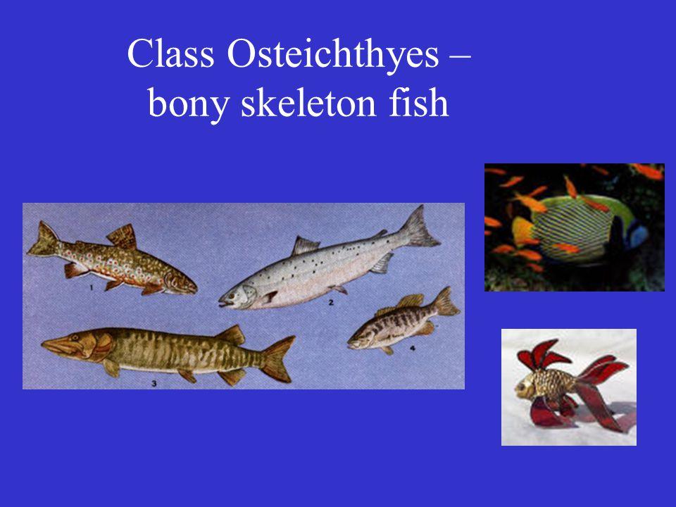 Class Osteichthyes – bony skeleton fish