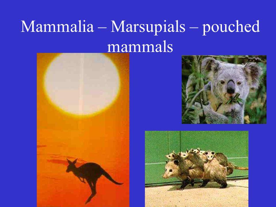 Mammalia – Marsupials – pouched mammals