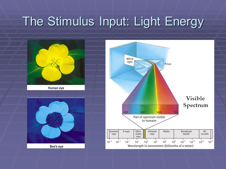 The Stimulus Input: Light Energy Visible Spectrum