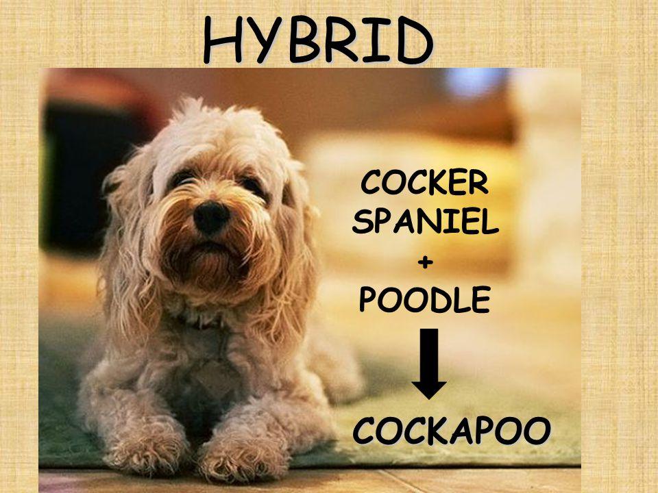 HYBRID COCKAPOO COCKER SPANIEL + POODLE
