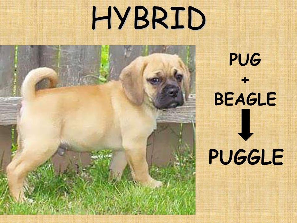 HYBRID PUG + BEAGLE PUGGLE