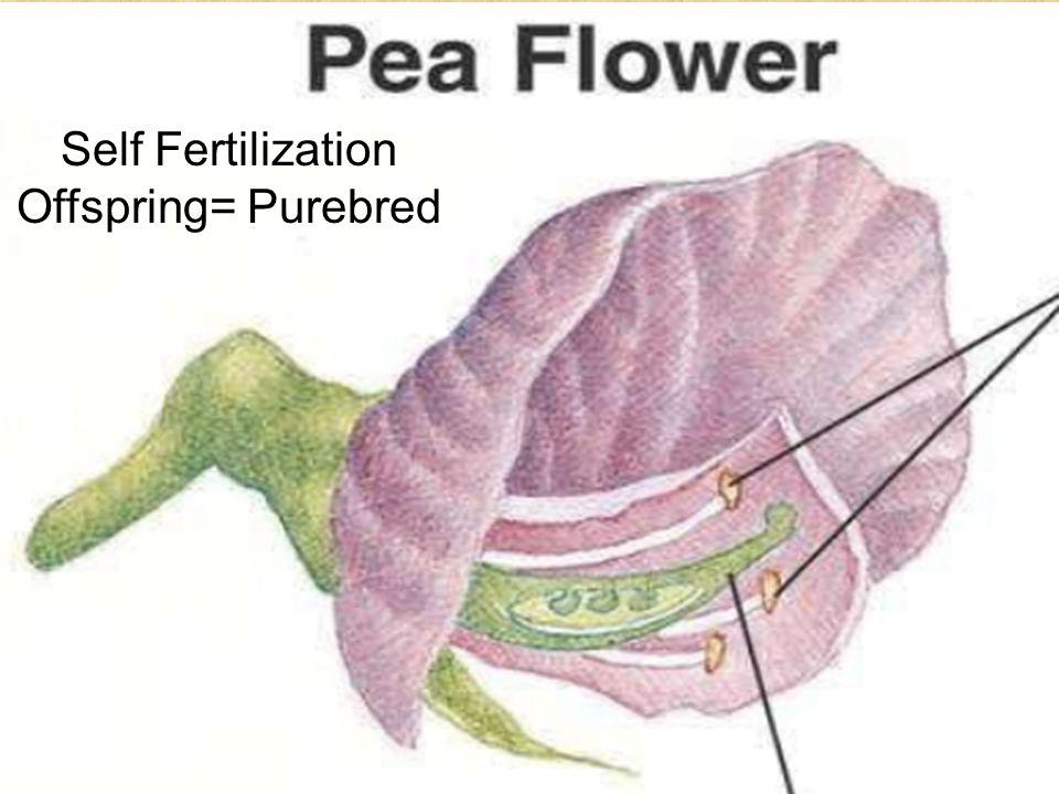 Self Fertilization Offspring= Purebred