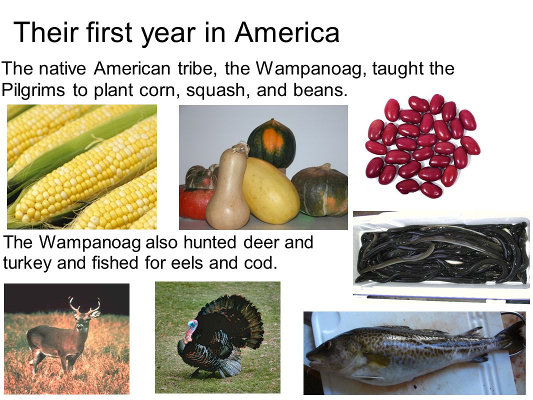 The first Thanksgiving To thank the Wampanoag tribe, the pilgrims invited them to a feast of that years harvest.