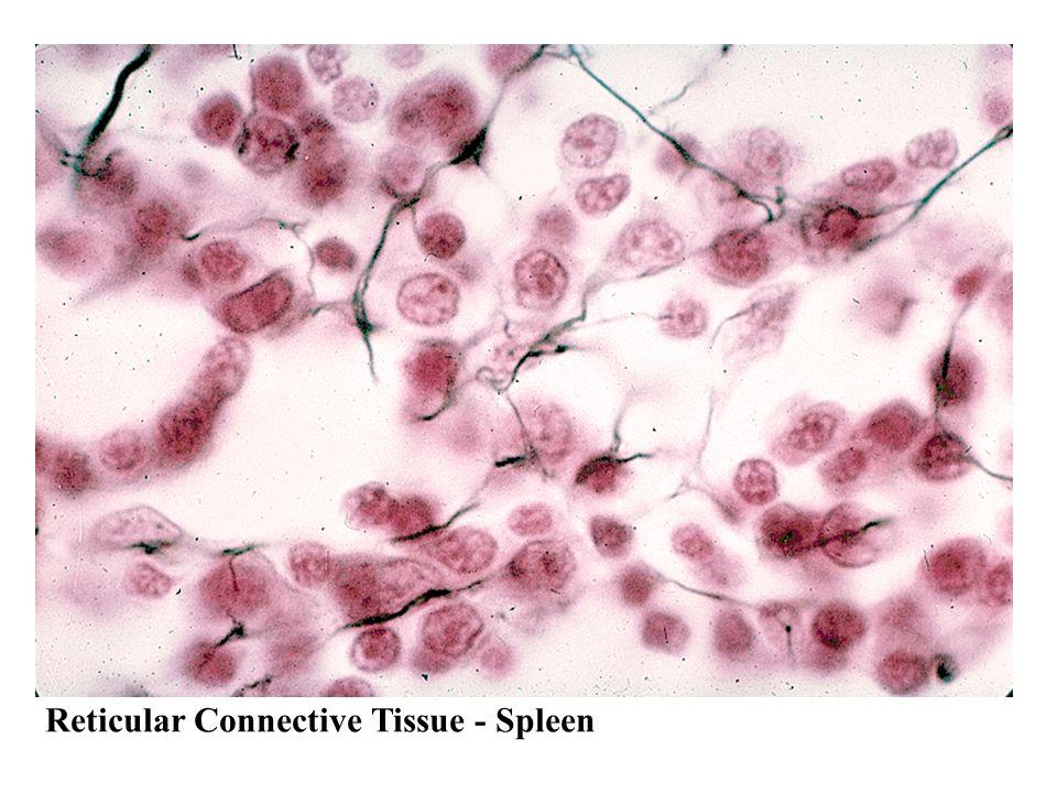 Reticular Connective Tissue - Spleen