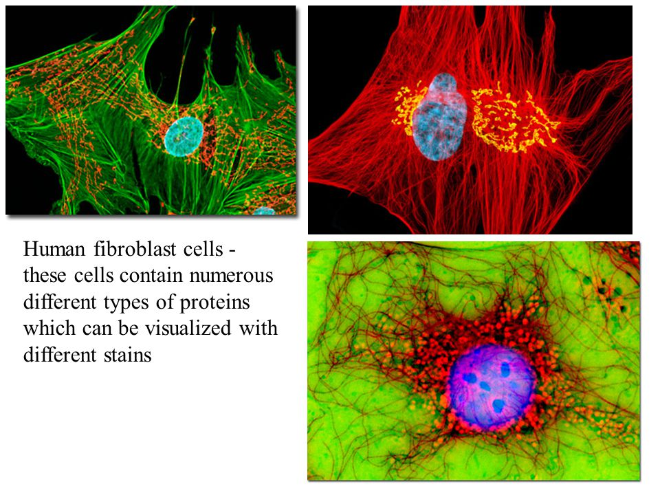 Human fibroblast cells - these cells contain numerous different types of proteins which can be visualized with different stains