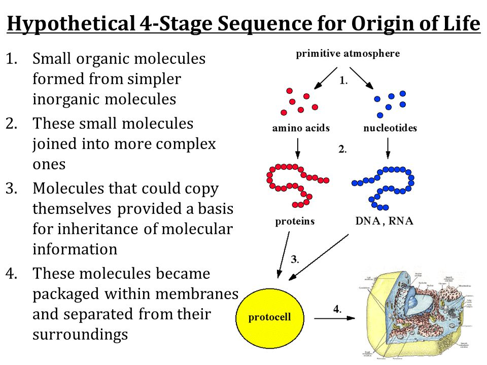 Hypothetical 4-Stage Sequence for Origin of Life 1.Small organic molecules formed from simpler inorganic molecules 2.These small molecules joined into more complex ones 3.Molecules that could copy themselves provided a basis for inheritance of molecular information 4.These molecules became packaged within membranes and separated from their surroundings