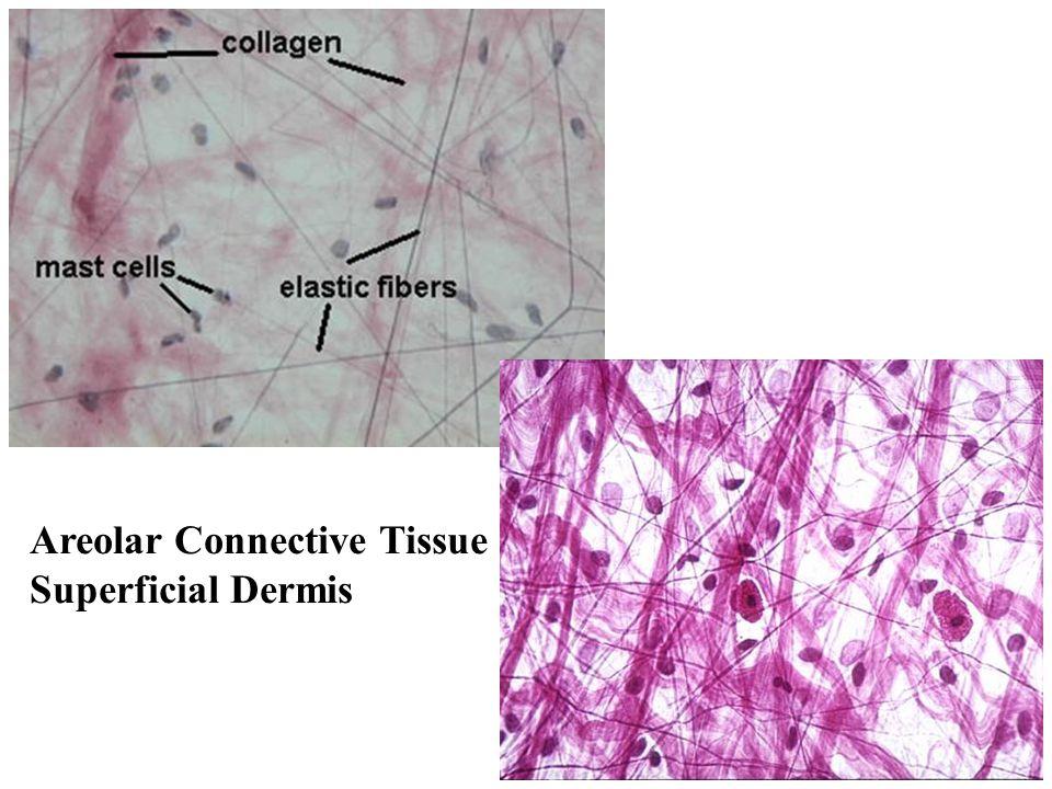 Areolar Connective Tissue Superficial Dermis