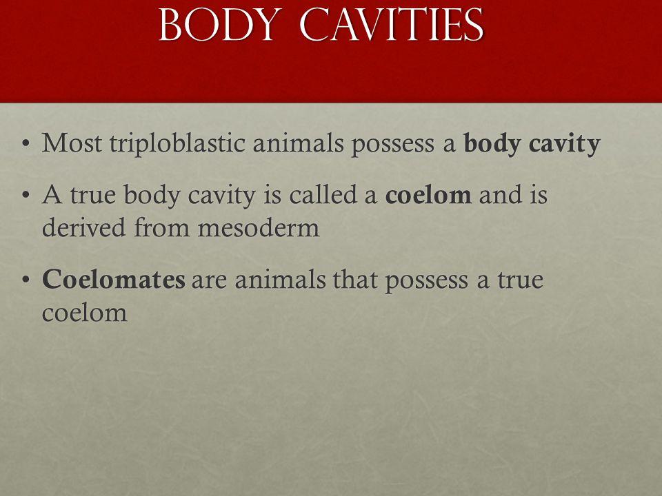 Body Cavities Most triploblastic animals possess a body cavityMost triploblastic animals possess a body cavity A true body cavity is called a coelom a