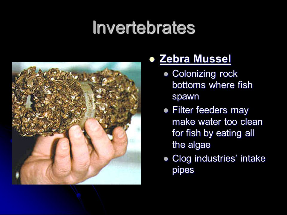 Invertebrates Zebra Mussel Zebra Mussel Colonizing rock bottoms where fish spawn Filter feeders may make water too clean for fish by eating all the al