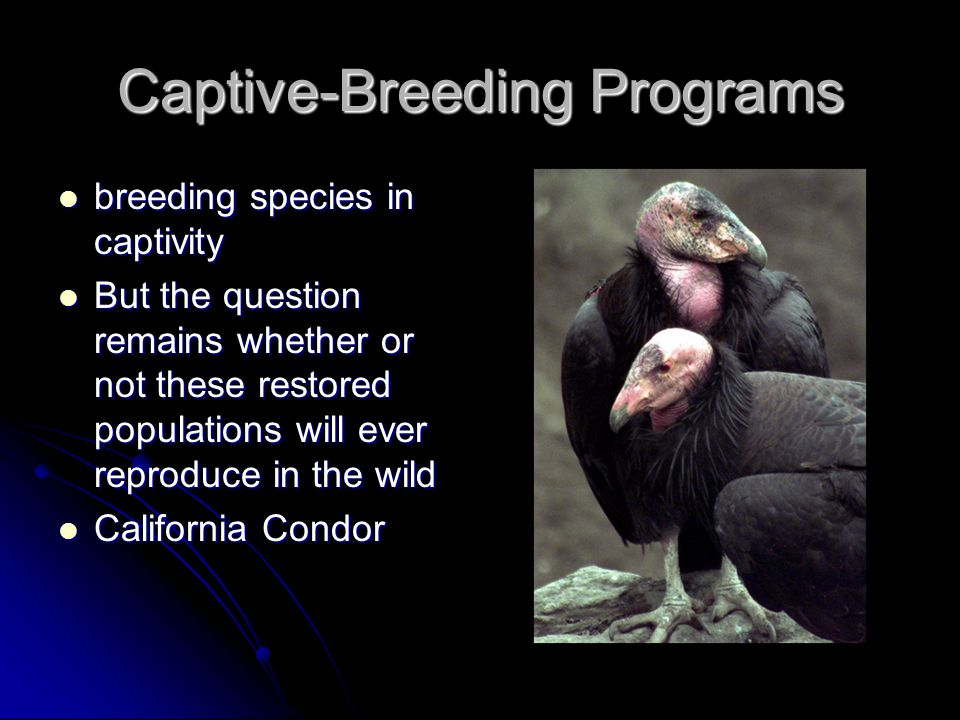 Captive-Breeding Programs breeding species in captivity breeding species in captivity But the question remains whether or not these restored populatio
