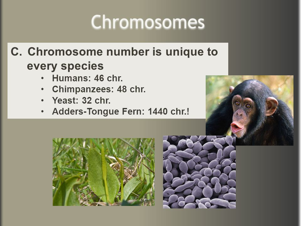 Chromosomes C.Chromosome number is unique to every species Humans: 46 chr. Chimpanzees: 48 chr. Yeast: 32 chr. Adders-Tongue Fern: 1440 chr.!