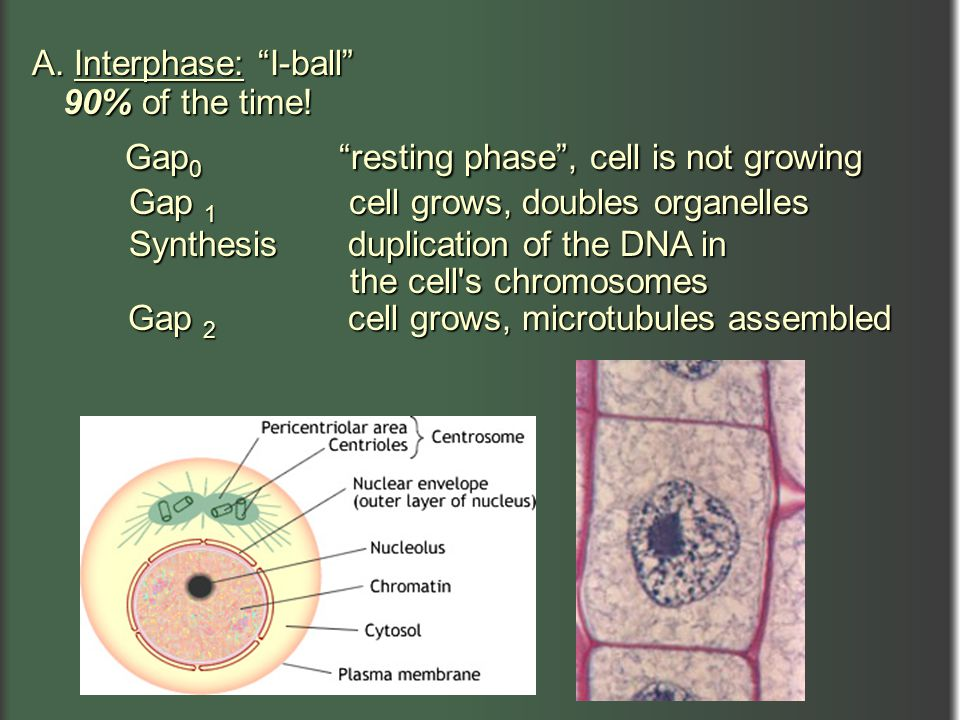 """A. Interphase: """"I-ball"""" 90% of the time! 90% of the time! Gap 0 """"resting phase"""", cell is not growing Gap 0 """"resting phase"""", cell is not growing Gap 1"""