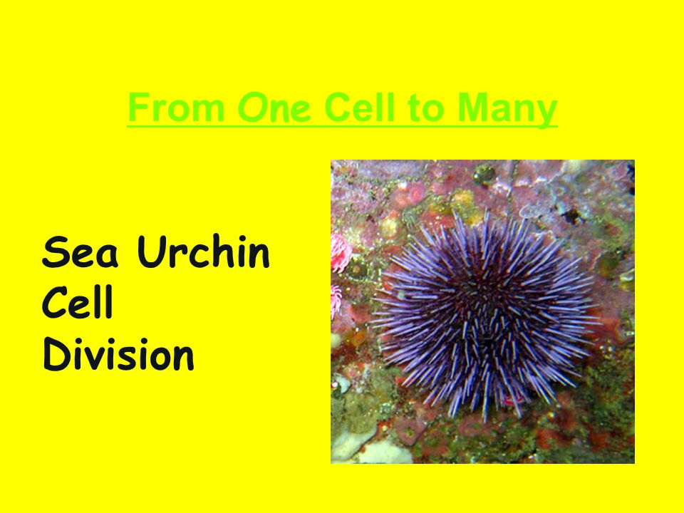 From One Cell to Many Sea Urchin Cell Division