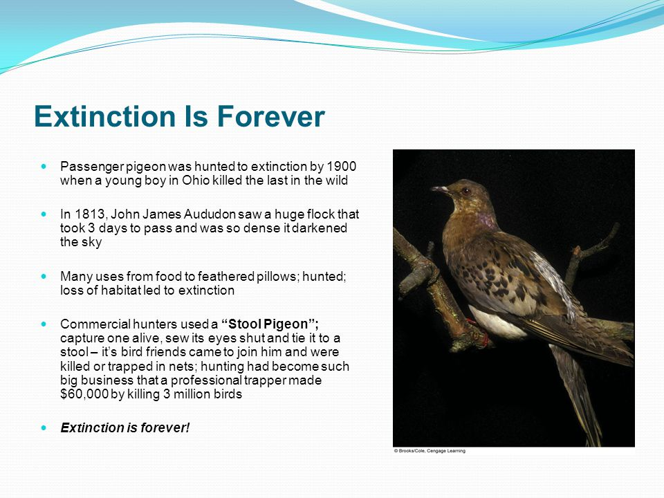 Extinction In time, all species become extinct: Background Extinction: continuous low level of extinction Extinction Rate: % of species lost per year or 0.0001% before man became involved Mass Extinction: 5 mass extinctions – 50-95% of species were lost; but afterwards, biodiversity returned; causes include climate change, volcanoes or asteroids; man 6 th .