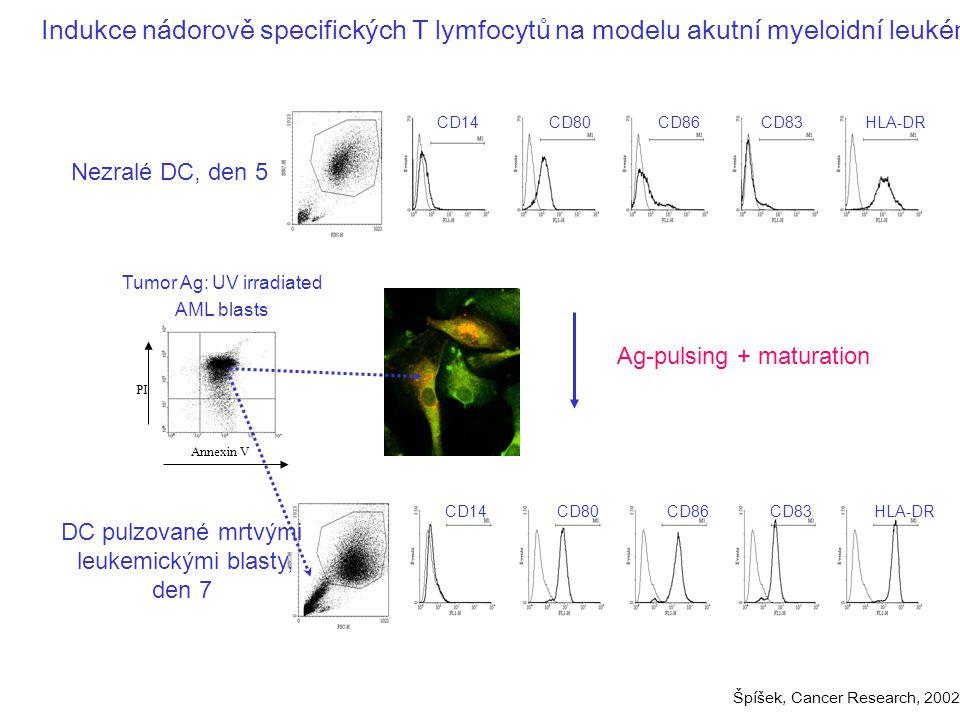 Ag-pulsing + maturation Nezralé DC, den 5 Tumor Ag: UV irradiated AML blasts Annexin V PI CD80CD14CD86CD83HLA-DR DC pulzované mrtvými leukemickými blasty, den 7 CD80CD14CD86CD83HLA-DR Indukce nádorově specifických T lymfocytů na modelu akutní myeloidní leukémie Špíšek, Cancer Research, 2002