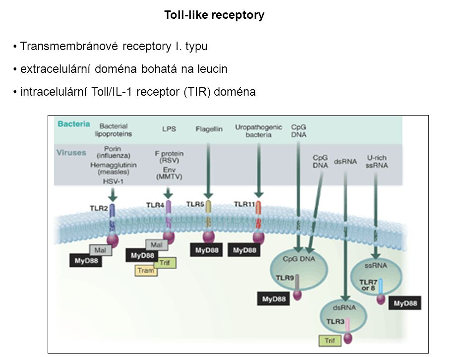 Toll-like receptory Transmembránové receptory I.