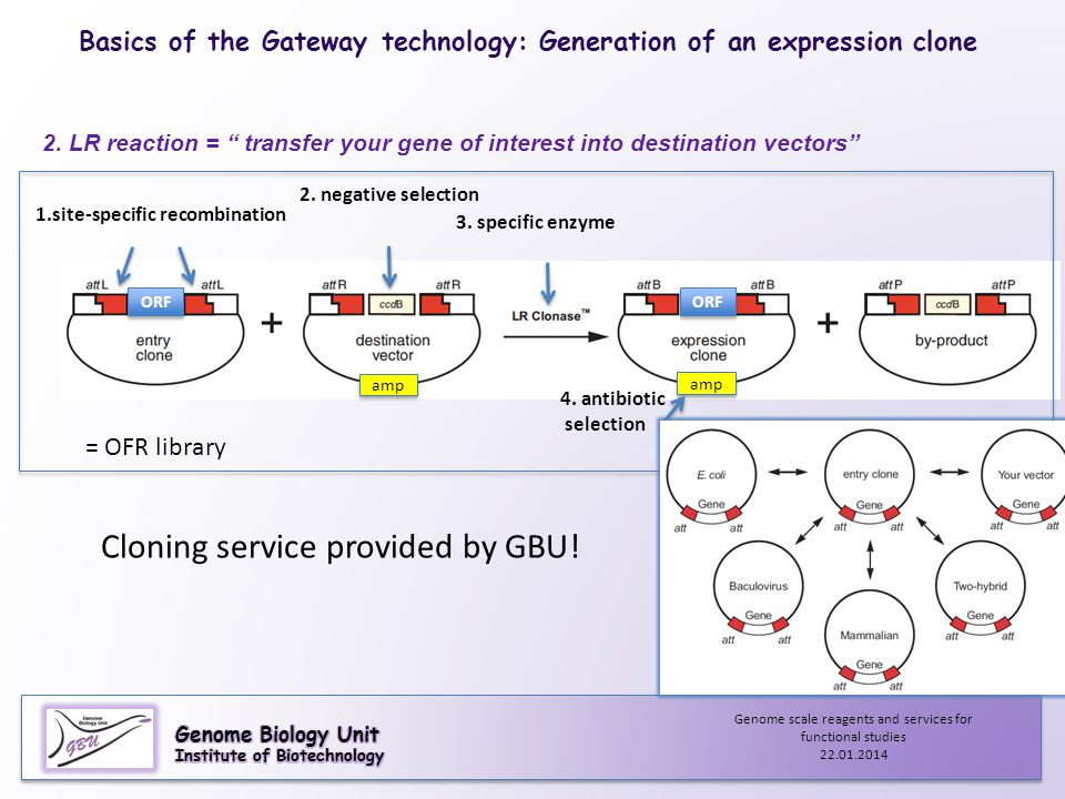 "2. LR reaction = "" transfer your gene of interest into destination vectors"" 3. specific enzyme Basics of the Gateway technology: Generation of an expr"
