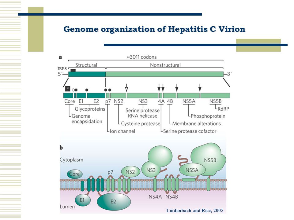 Genetic diversity of Hepatitis C Virus based on a high mutation rate a high mutation rate Quasispecies Genotypes/ Clades Genotypes/ Clades from 1 to 630-35% Subtypes Subtypes varying numbers from a to …20-25% Isolates10%