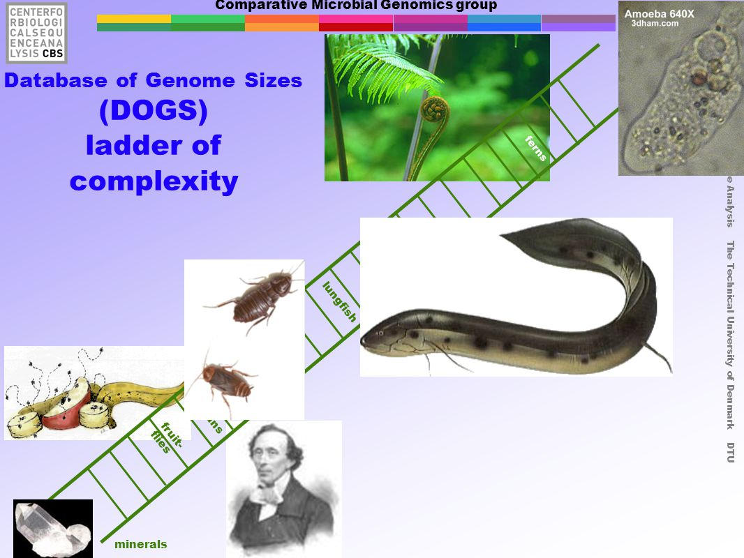Comparative Microbial Genomics group Center for Biological Sequence Analysis The Technical University of Denmark DTU fruit- flies ferns humans minerals Database of Genome Sizes (DOGS) ladder of complexity lungfish cock - roaches