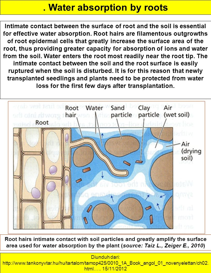 . Water absorption by roots Intimate contact between the surface of root and the soil is essential for effective water absorption. Root hairs are fila