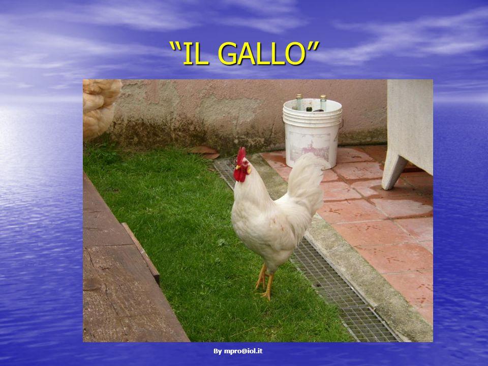 By mpro@iol.it IL GALLO