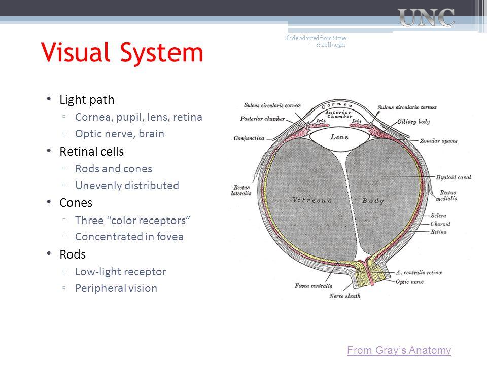 "Visual System Light path ▫ Cornea, pupil, lens, retina ▫ Optic nerve, brain Retinal cells ▫ Rods and cones ▫ Unevenly distributed Cones ▫ Three ""color"