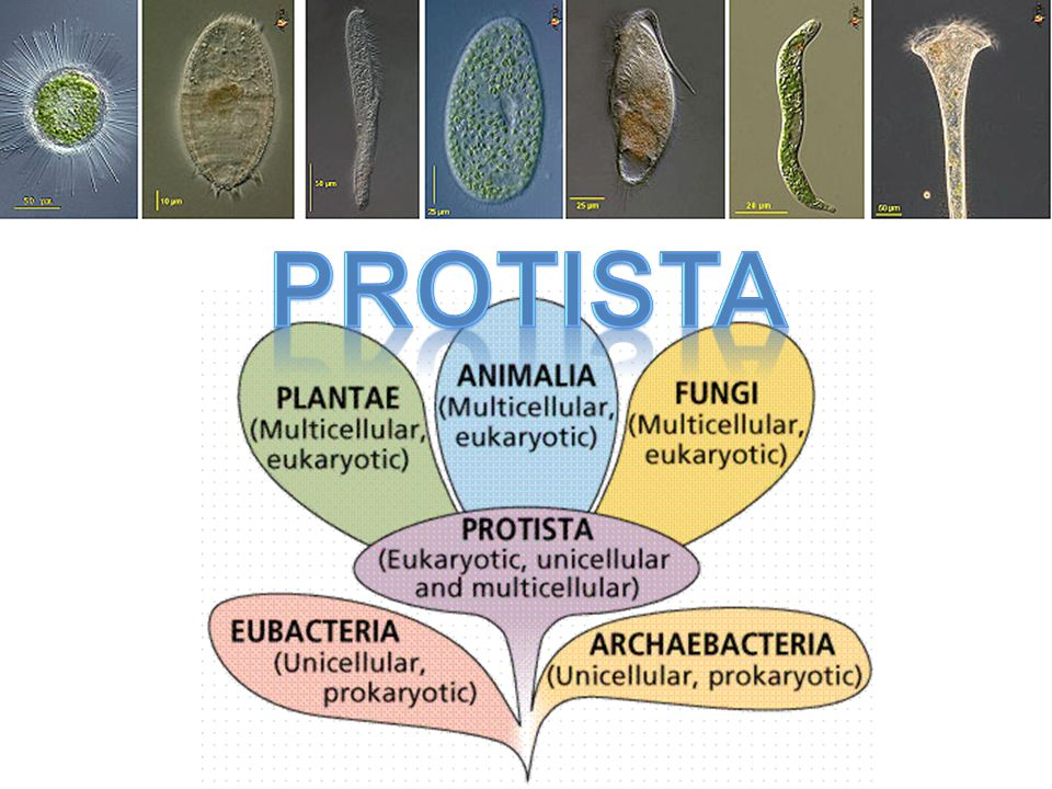 Plant-like Protista AKA: Algae Plant-like: Photosynthetic – No roots, no leaves, usually unicellular Classified by their type of cell wall 1) Euglenoids: use flagella to swim – Plant-like: photosynthetic – Animal-like: swim