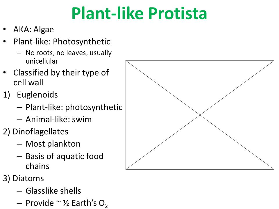 Plant-like Protista AKA: Algae Plant-like: Photosynthetic – No roots, no leaves, usually unicellular Classified by their type of cell wall 1)Euglenoid