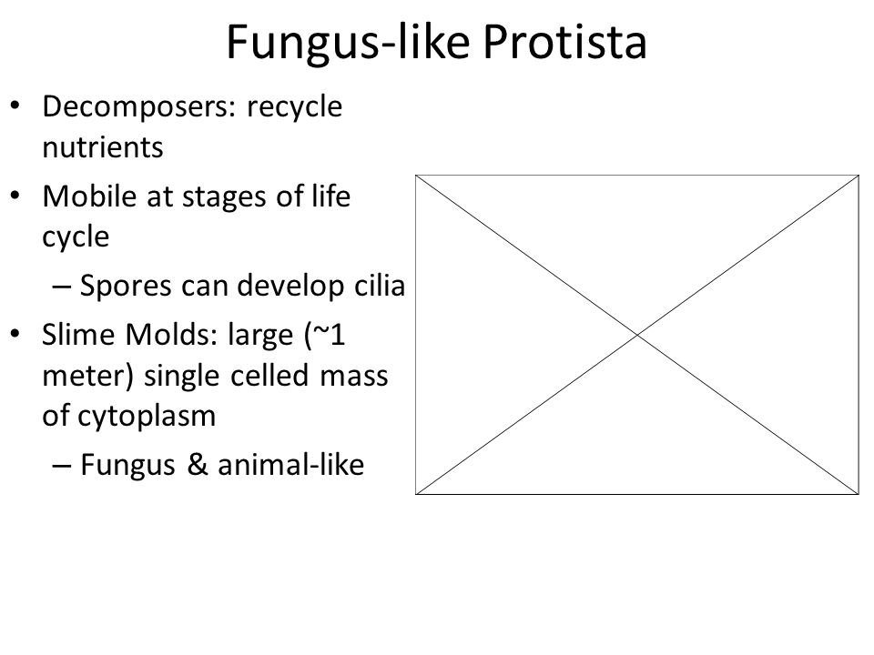 Fungus-like Protista Decomposers: recycle nutrients Mobile at stages of life cycle – Spores can develop cilia Slime Molds: large (~1 meter) single cel