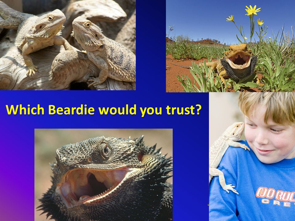 Which Beardie would you trust?