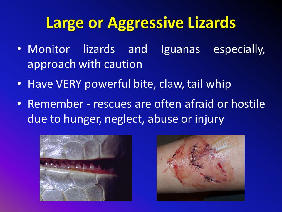 Large or Aggressive Lizards Monitor lizards and Iguanas especially, approach with caution Have VERY powerful bite, claw, tail whip Remember - rescues are often afraid or hostile due to hunger, neglect, abuse or injury