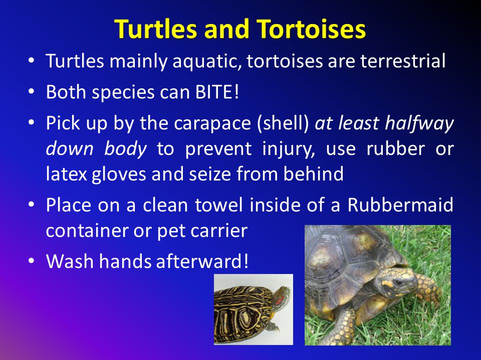 Turtles and Tortoises Turtles mainly aquatic, tortoises are terrestrial Both species can BITE.
