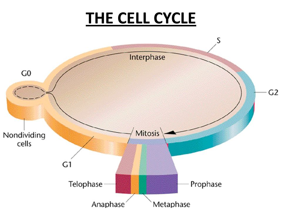 Growth period: production of proteins and cytoplasmic organelles