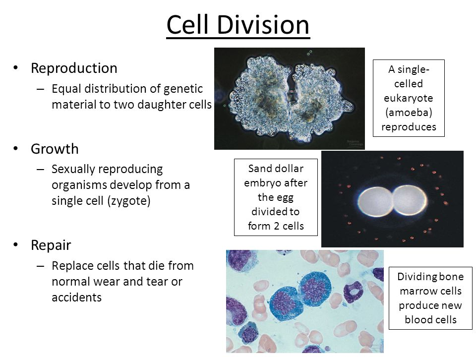 Questions 1.How many daughter cells are produced by mitosis.
