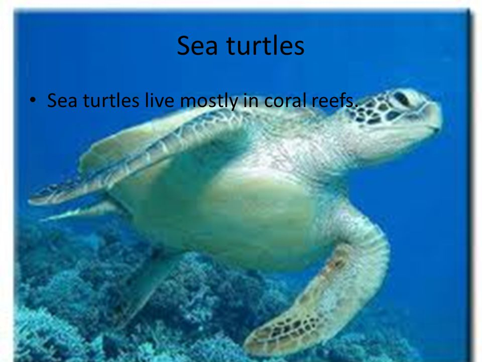 Sea turtles Sea turtles live mostly in coral reefs.