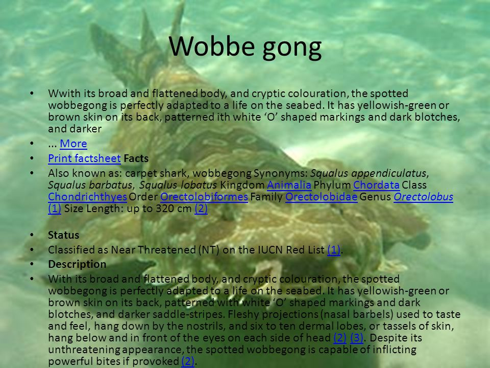 Wobbe gong Wwith its broad and flattened body, and cryptic colouration, the spotted wobbegong is perfectly adapted to a life on the seabed.