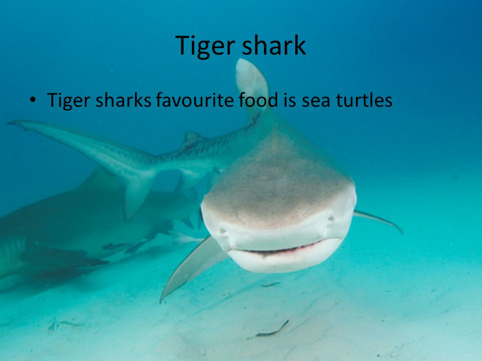 Tiger shark Tiger sharks favourite food is sea turtles
