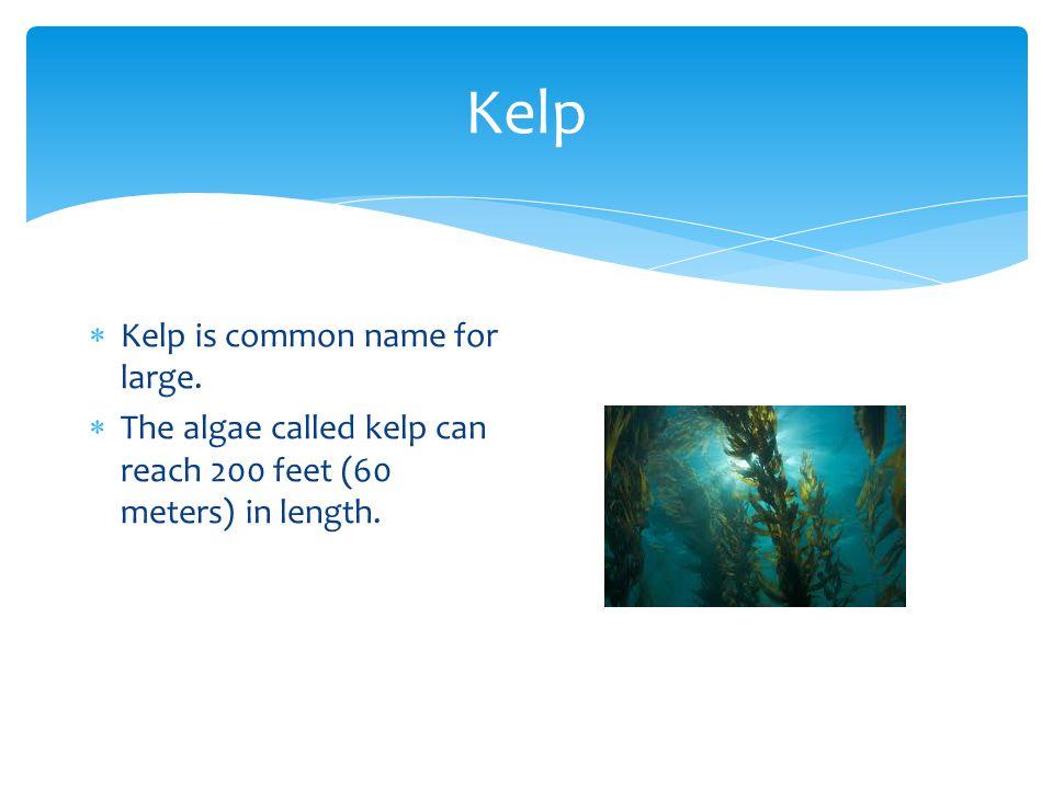 Kelp  Kelp is common name for large.  The algae called kelp can reach 200 feet (60 meters) in length.