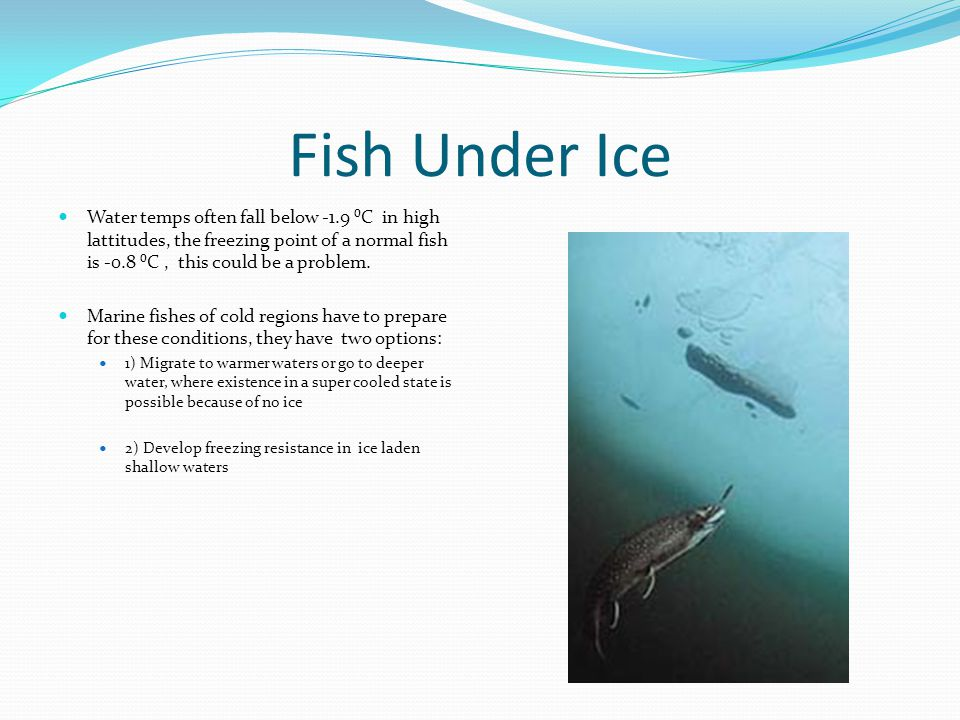 Fish Under Ice Water temps often fall below -1.9 ⁰C in high lattitudes, the freezing point of a normal fish is -0.8 ⁰C, this could be a problem.