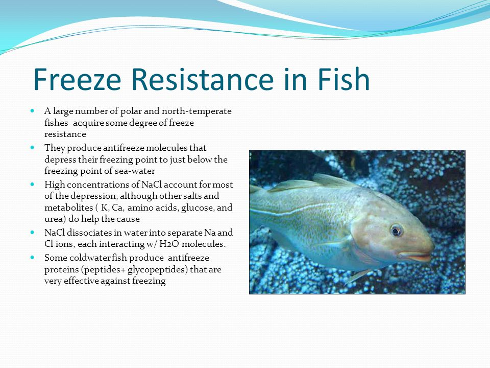 Freeze Resistance in Fish A large number of polar and north-temperate fishes acquire some degree of freeze resistance They produce antifreeze molecules that depress their freezing point to just below the freezing point of sea-water High concentrations of NaCl account for most of the depression, although other salts and metabolites ( K, Ca, amino acids, glucose, and urea) do help the cause NaCl dissociates in water into separate Na and Cl ions, each interacting w/ H2O molecules.