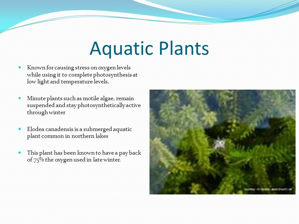 Aquatic Plants Known for causing stress on oxygen levels while using it to complete photosynthesis at low light and temperature levels.