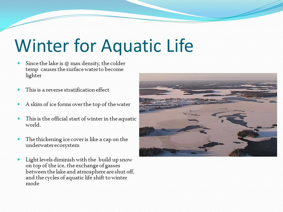 Winter for Aquatic Life Since the lake is @ max density, the colder temp causes the surface water to become lighter This is a reverse stratification effect A skim of ice forms over the top of the water This is the official start of winter in the aquatic world.