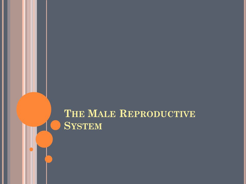 Unlike the female, whose sex organs are located entirely within the pelvis, the male has reproductive organs, or genitals, that are both inside and outside the pelvis