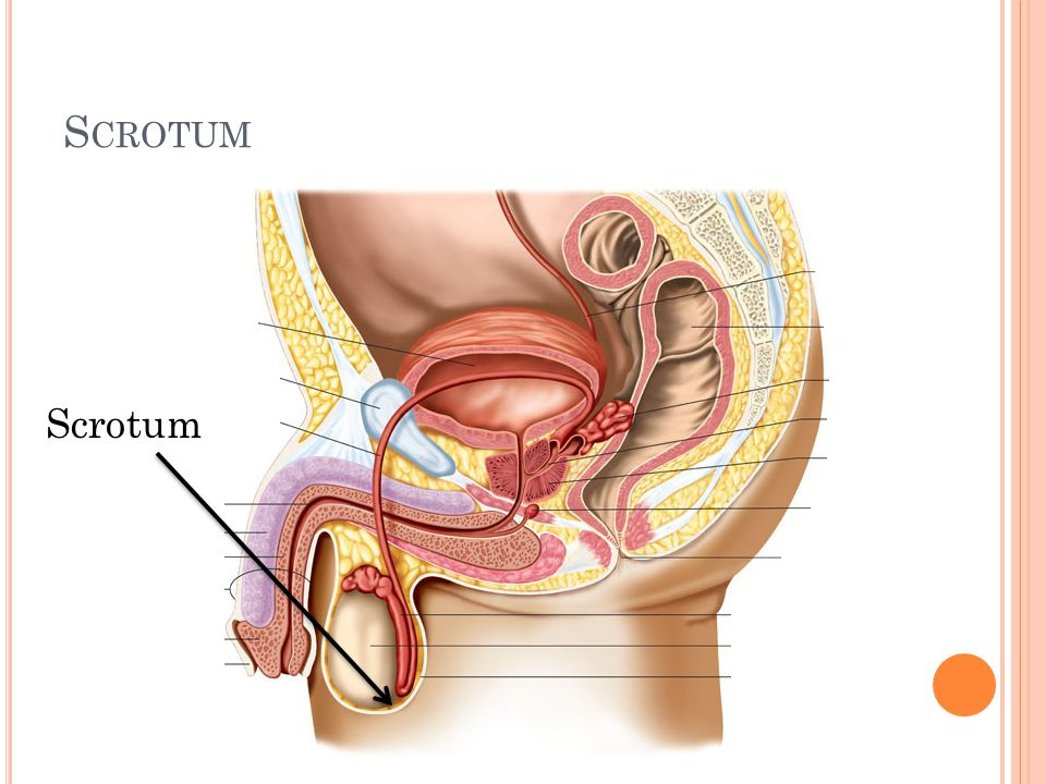 S EMINAL V ESICLES Sac-like structures attached to the vas deferens to the side of the bladder Provide fluids that lubricate the duct system and nourish the sperm