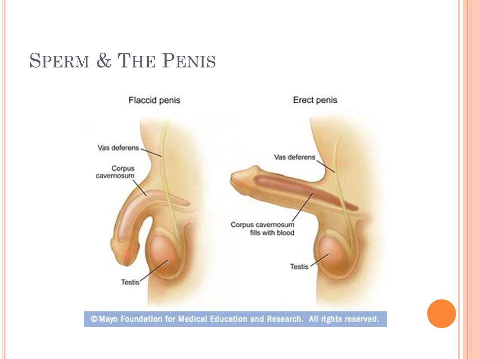 C ONCEPTION When the male ejaculates during intercourse, semen is deposited into the female s vagina From the vagina the sperm make their way up through the cervix and move through the uterus with help from uterine contractions If a mature egg is in one of the female s fallopian tubes, a single sperm may penetrate it, and fertilization, or conception, occurs